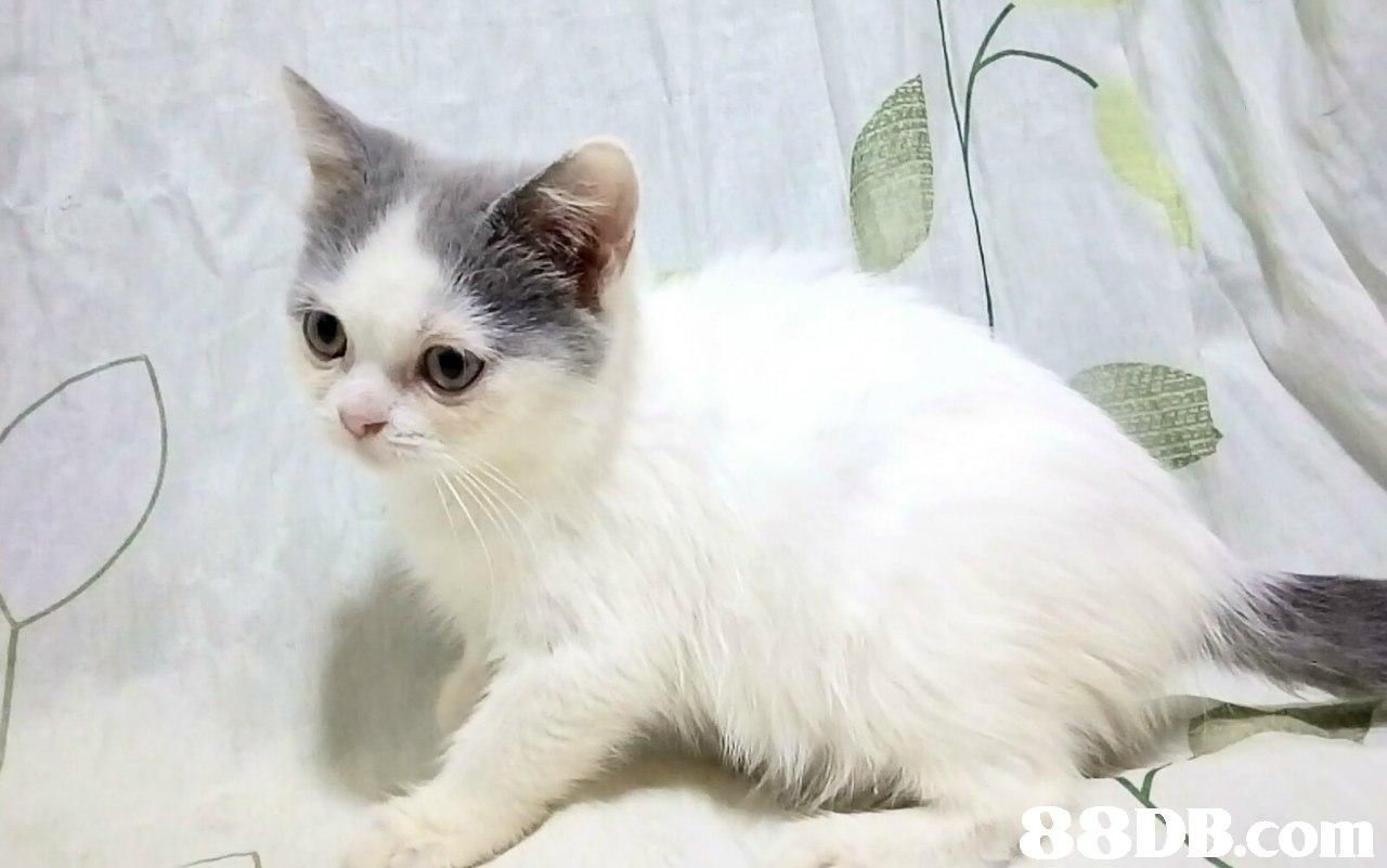 88D.com  cat,small to medium sized cats,mammal,cat like mammal,vertebrate