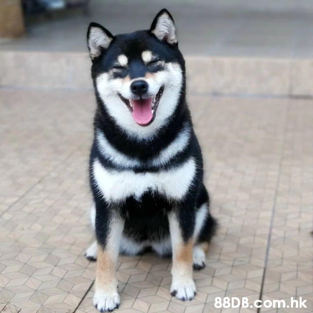 .hk,Dog,Mammal,Vertebrate,Canidae,Shiba inu
