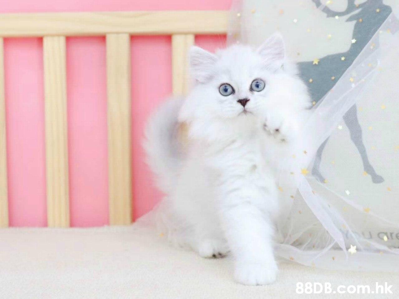 Ugre .hk,Cat,Mammal,Small to medium-sized cats,Felidae,Persian