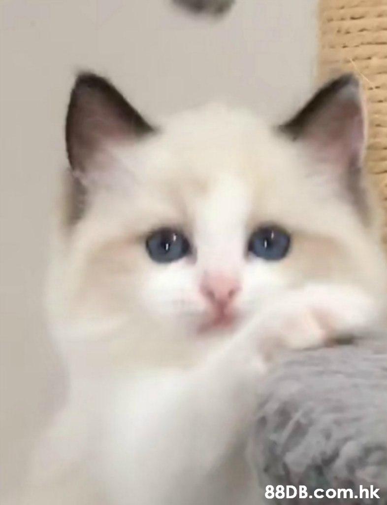 .hk,Cat,Mammal,Vertebrate,Small to medium-sized cats,Felidae