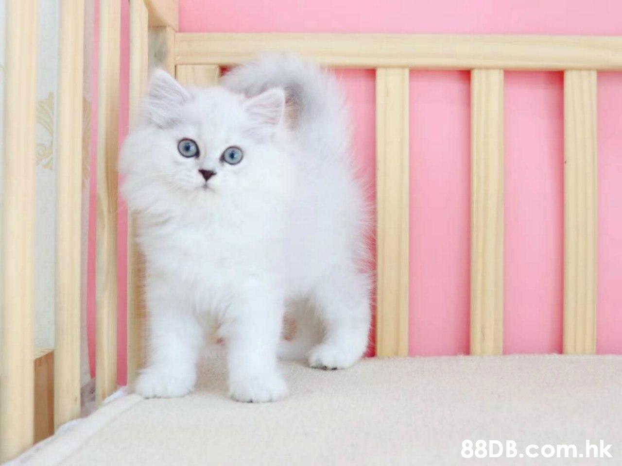 88D B.com.hk  Cat,Mammal,Small to medium-sized cats,Felidae,Kitten