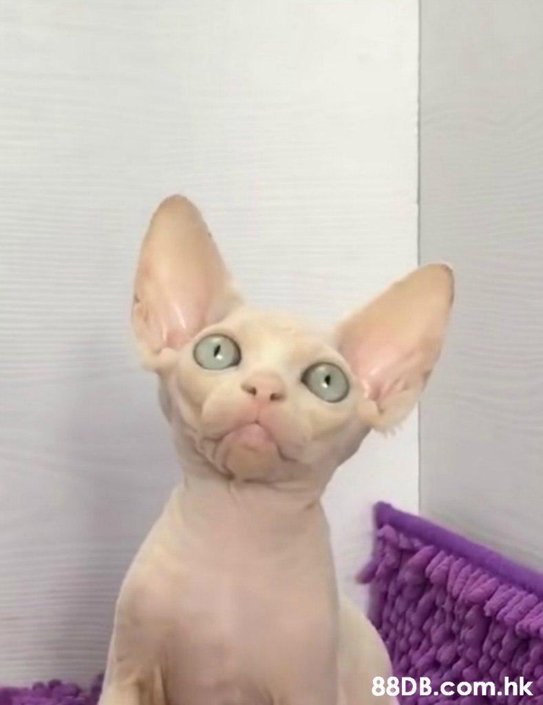 .hk  Cat,Mammal,Donskoy,Vertebrate,Sphynx