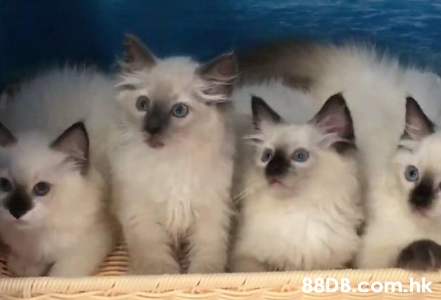 .hk,Cat,Mammal,Vertebrate,Small to medium-sized cats,Whiskers